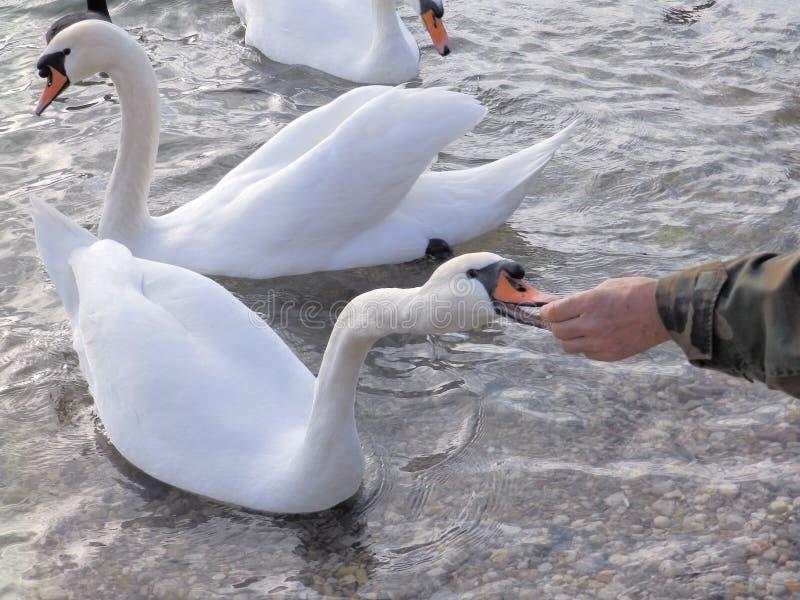 Feeding the swan on the lake Jarun, Zagreb Croatia royalty free stock photography