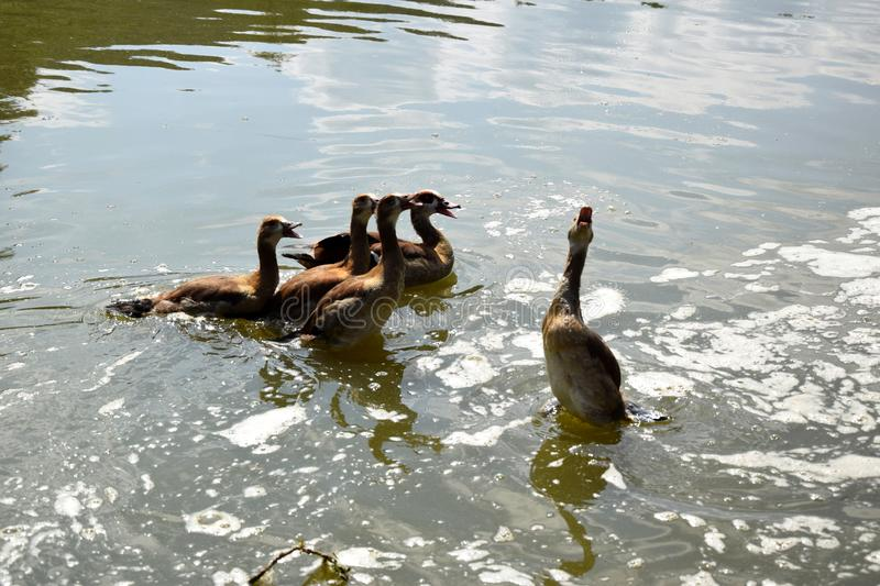 Feeding a swimming duck family on a pond in Europe royalty free stock images