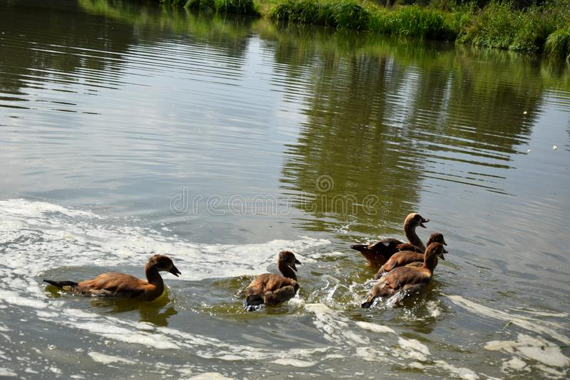Feeding a swimming duck family on a pond in Europe royalty free stock photography