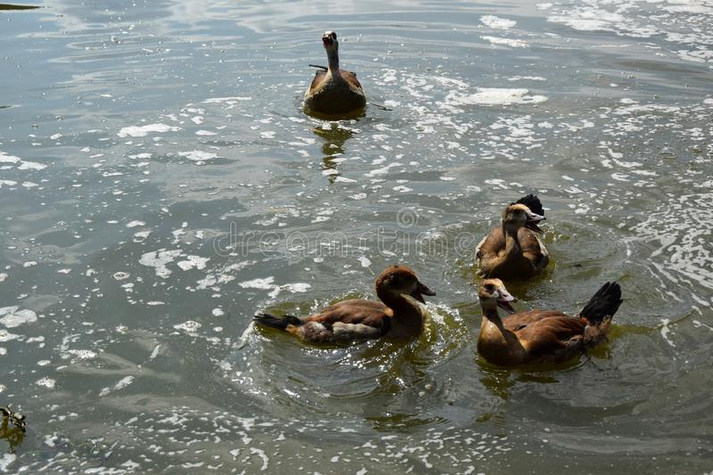 Feeding a swimming duck family on a pond in Europe stock photo