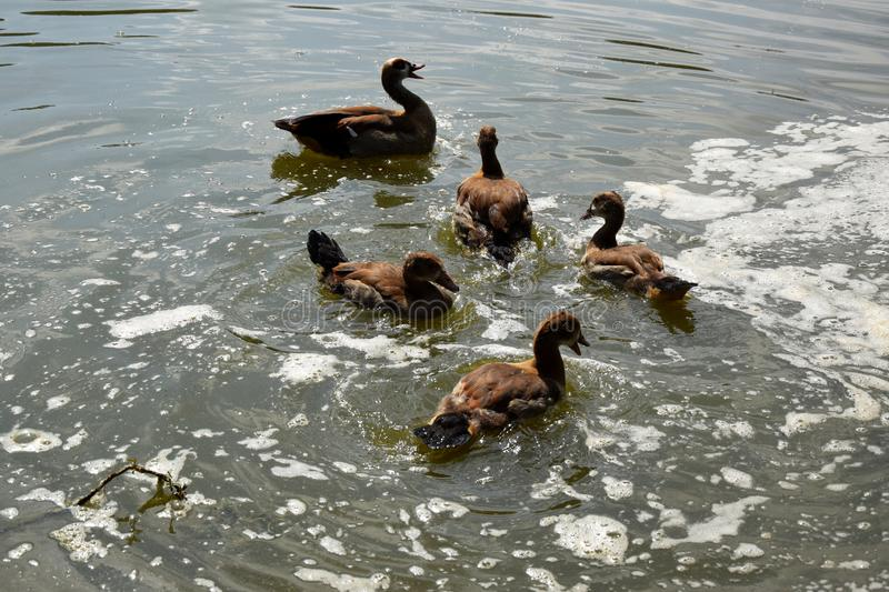 Feeding a swimming duck family on a pond in Europe stock image