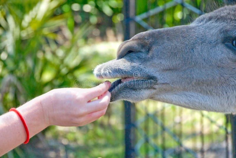 Feeding the tame farm animal. Child giving food pellet to farm animal stock photos