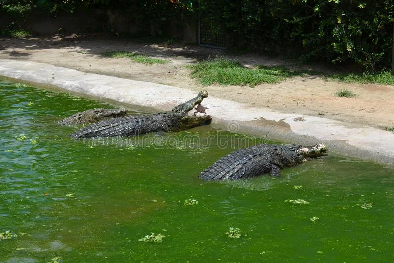 Feeding three huge crocodiles sitting in the green water near the shore. Crocodile catches whole chicken on the fly. Feeding three huge crocodiles sitting in the stock photos