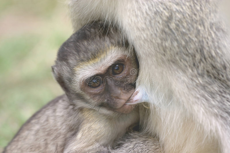 Download Feeding Time stock photo. Image of vervet, chimp, comfort - 3774