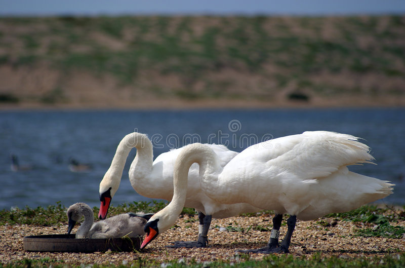 Feeding time. Two adult swans and a cygnet feeding. Taken at Abbotsbury Swannery, Dorset, England stock image