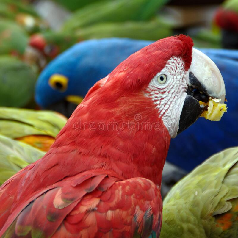 Green winged macaw eating its meal stock image