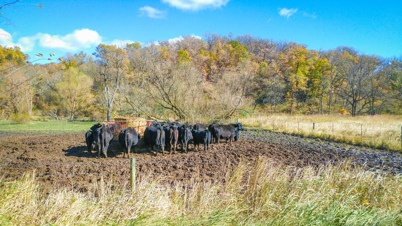 Feeding Time for Cows in Pasture stock photography