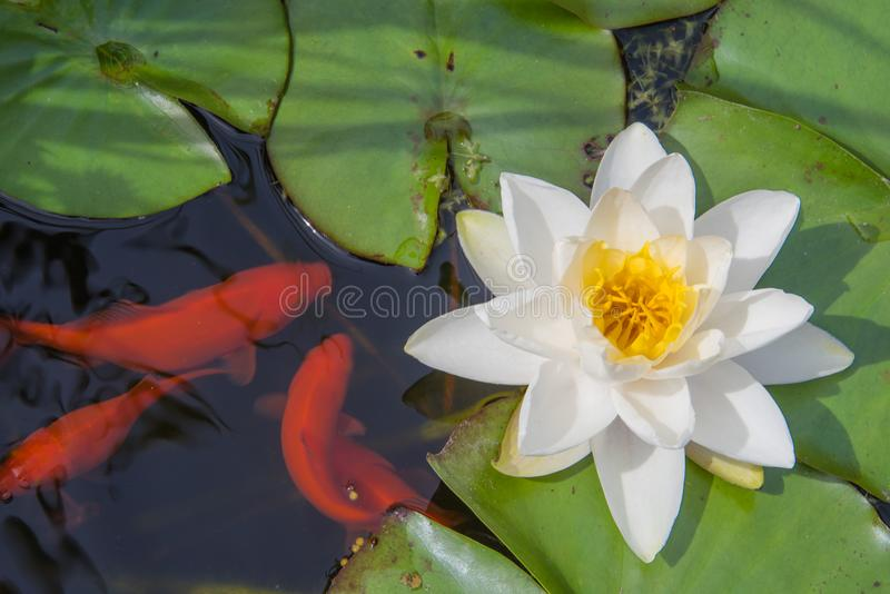 Feeding time for goldfish in the lily pond royalty free stock images