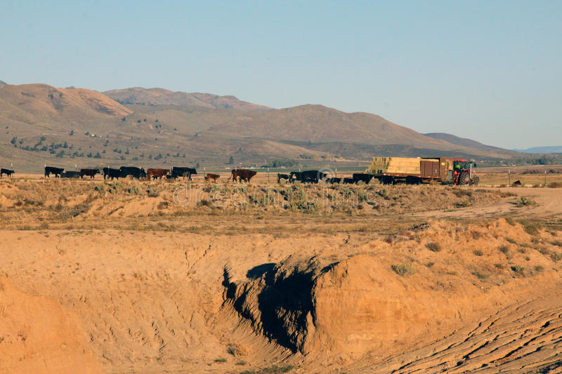 Feeding time. H herd of cattle follow the feed truck on the high desert of Lassen County, California stock photos