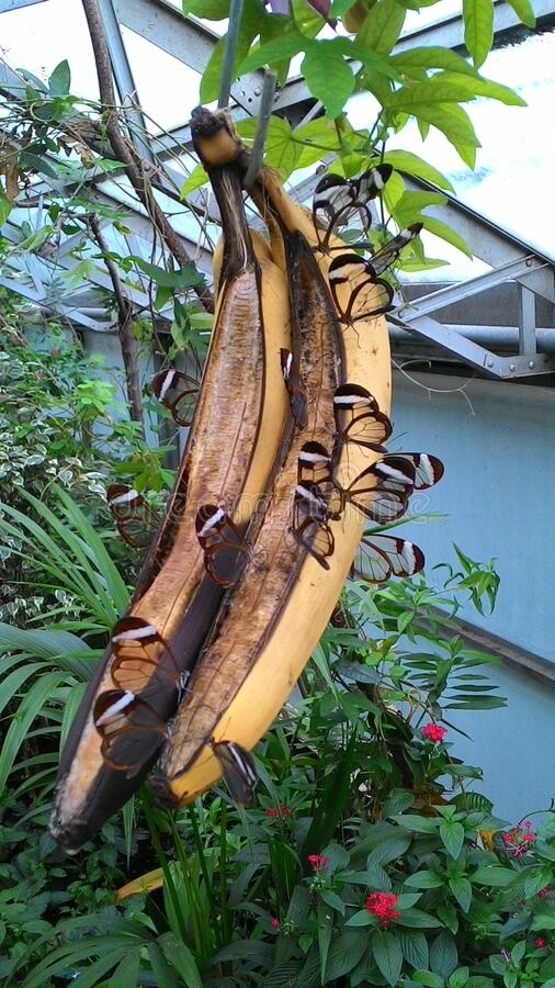 Small Glasswing Tropical Butterflies Feasting On Bananas. Feeding time for these small glasswing tropical butterflies on a hanging banana royalty free stock photos