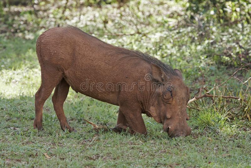 Download Feeding Warthog stock image. Image of feeding, hairy, phacochoerus - 7710611