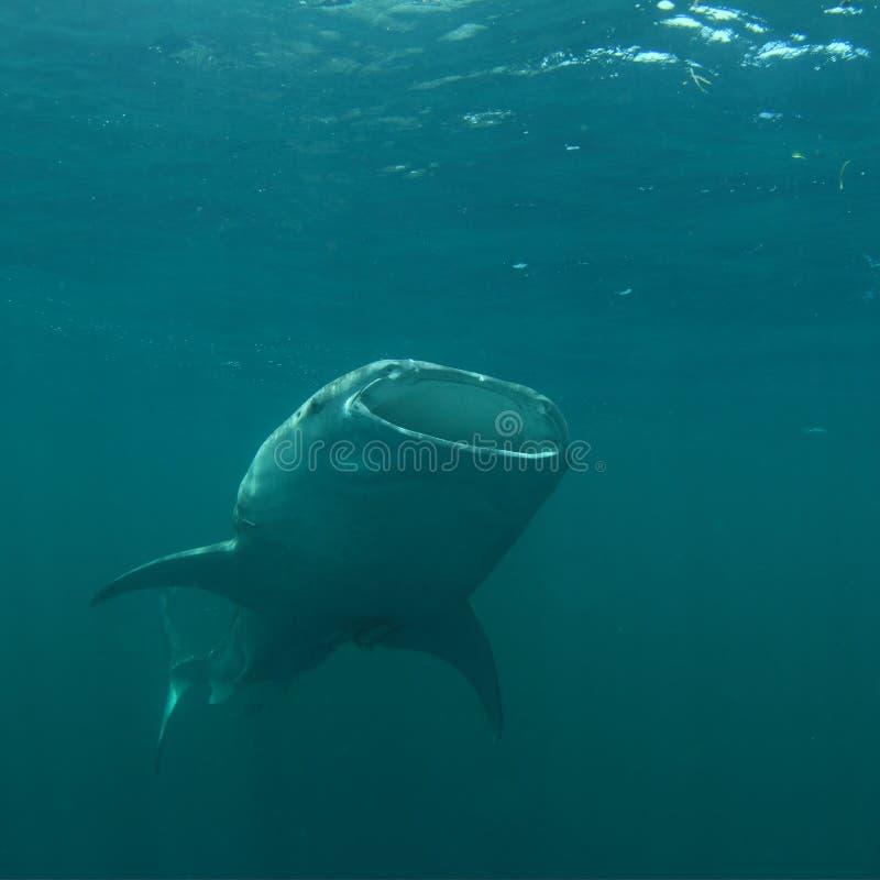 Feeding whale shark stock photography