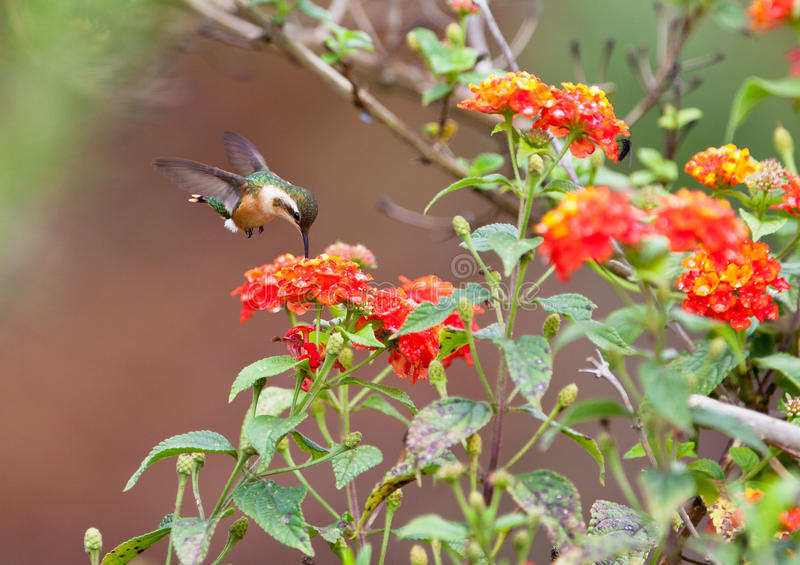 Feeding White-bellied Woodstar. A White-bellied Woodstar (Chaetocercus mulsant) Hummingbird feeds nectar from some red flowers in hovering flight stock photography