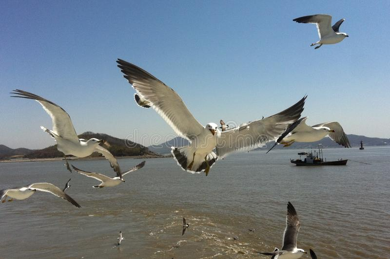 Seagulls Seongmodo Island Hungry Korean Birds stock image