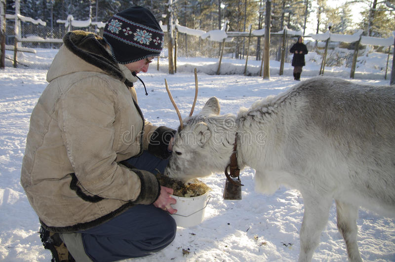 Feeding a young Reindeer royalty free stock photos