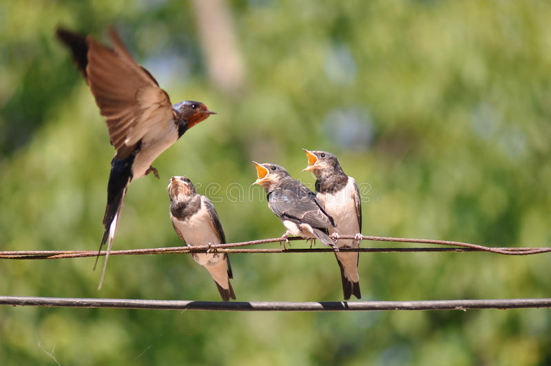 Feeding young swallow stock photography