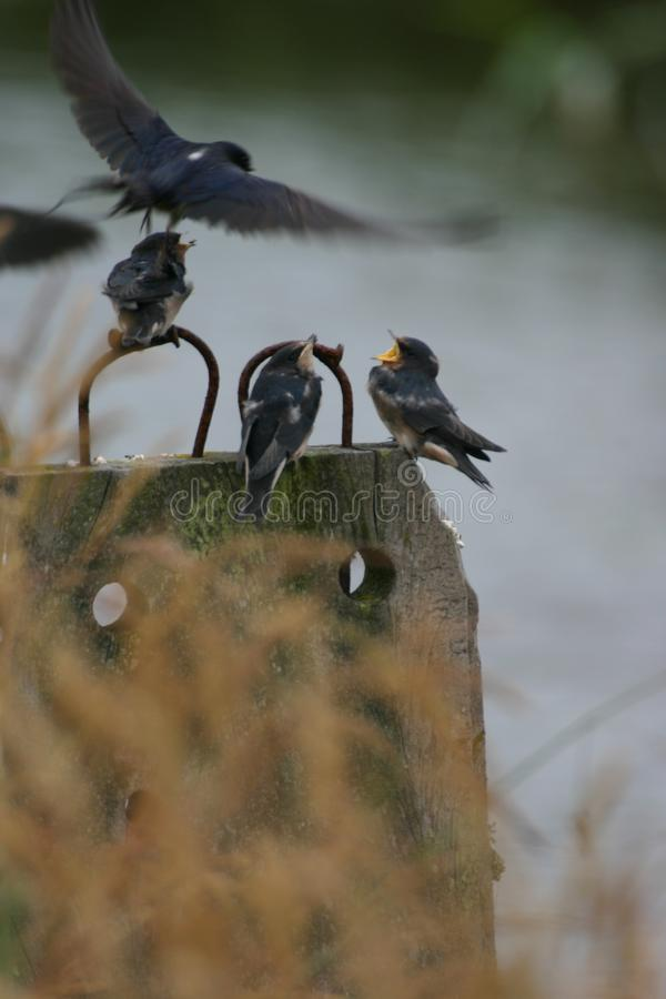 Feeding young swallow stock photo