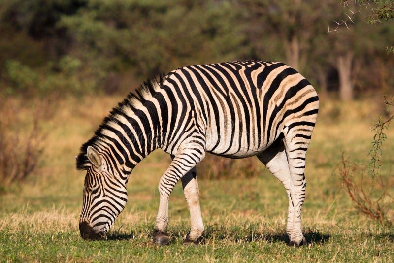 Feeding zebra. A male zebra feeding on short green grass royalty free stock image