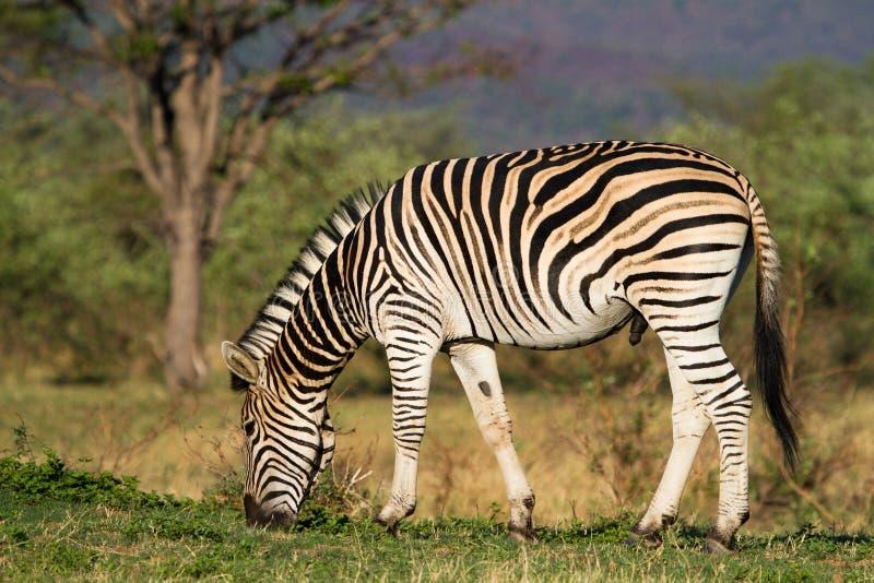 Feeding zebra male. A zebra stallion feeding in golden light stock photo