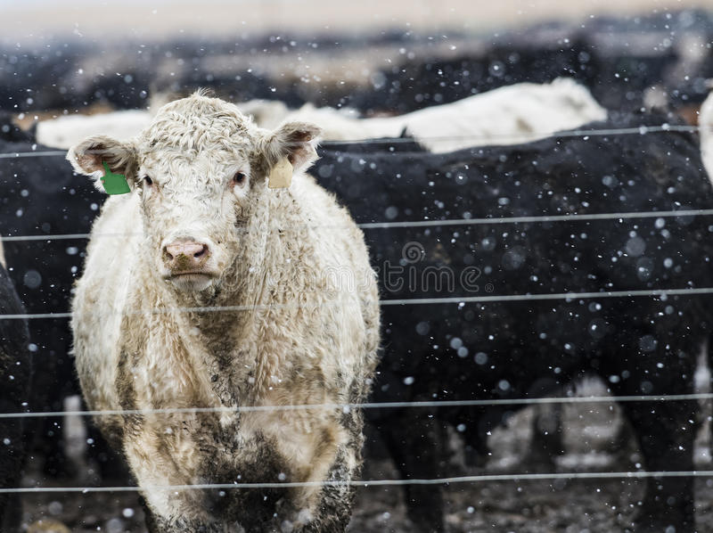 Feedlot Cattle in the Snow, Muck & Mud. Feedlot Cattle Standing in the Snow, Muck & Mud royalty free stock images