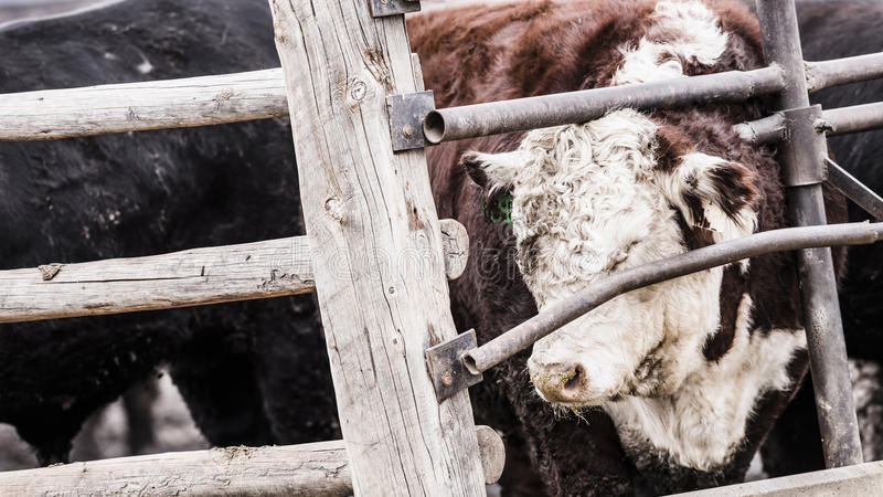 Feedlot Cattle in the Snow, Muck & Mud. Feedlot Cattle Standing in the Snow, Muck & Mud stock photo