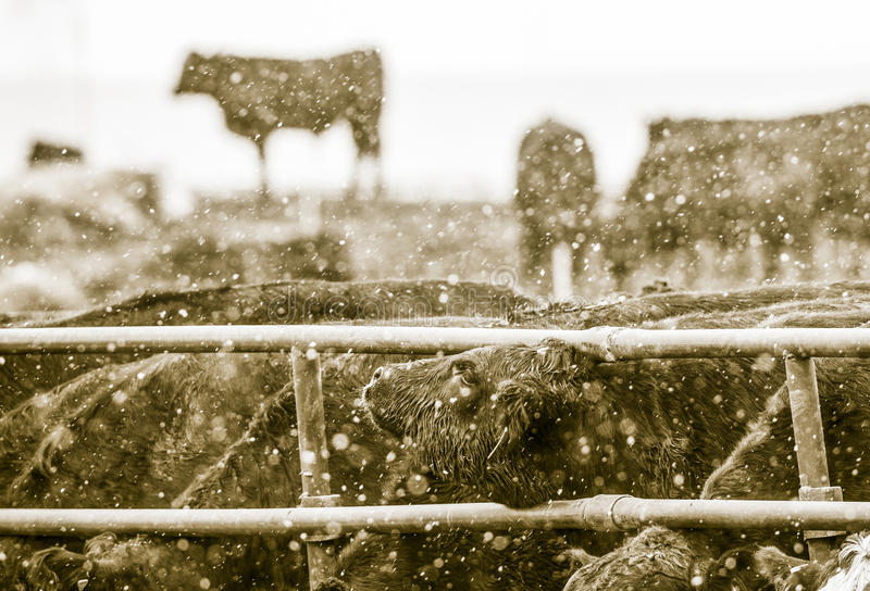 Feedlot Cattle in the Snow, Muck & Mud. Feedlot Cattle Standing in the Snow, Muck & Mud stock image