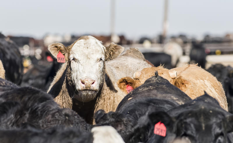 Feedlot Cows in the Muck and Mud. In Rural America royalty free stock image