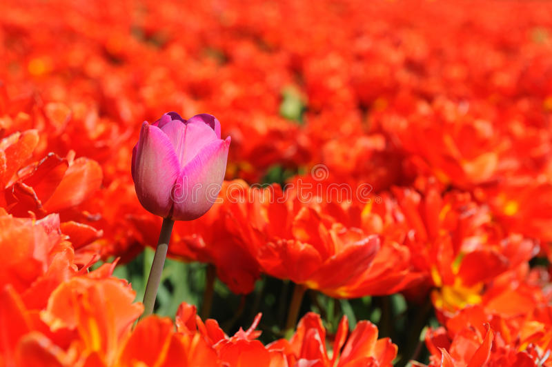 Feel the difference. One pink tulip in a red field to feel the difference stock photo