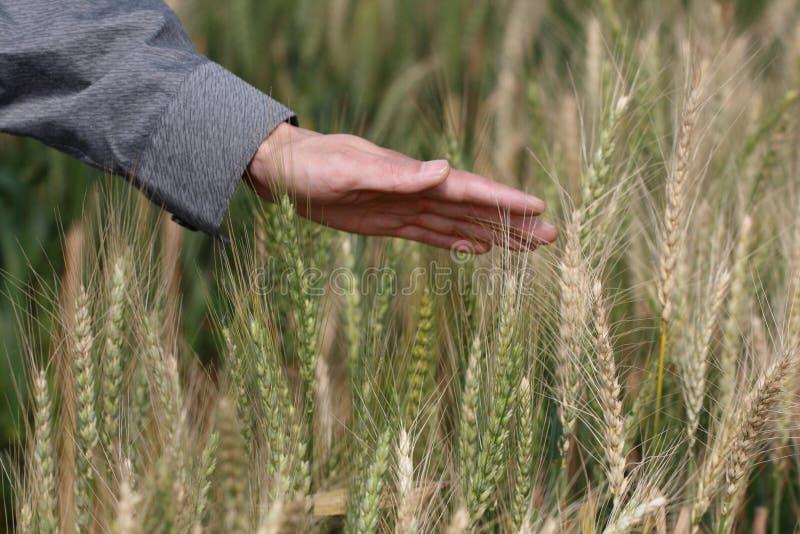 Feel Wheat Tassel Royalty Free Stock Photos