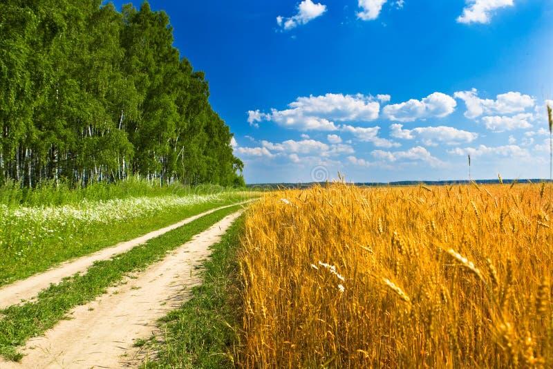 Feeld de blé jaune près de route et de forêt photos stock