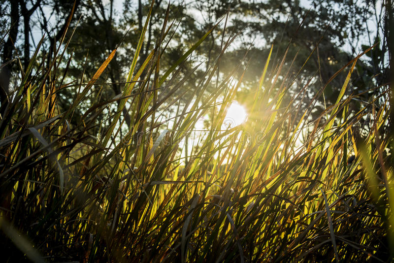 Feelings of warmth from the sun shining through back lit grass shot form a low angle with trees in the background stock photos