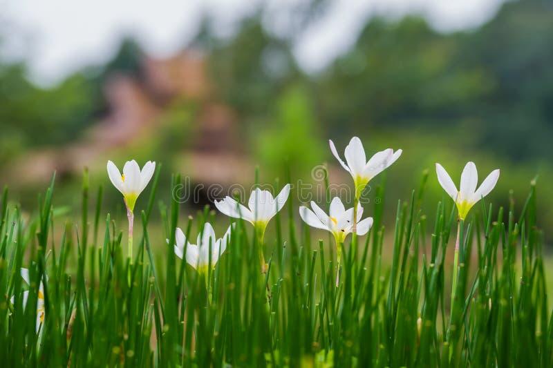 Feenhafte Lilienblumen im Blumengarten stockfotos