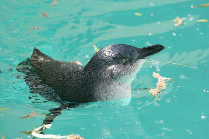 Feenhafter Pinguin (Eudyptula Untersatz) lizenzfreie stockfotos