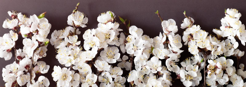 Feestelijke achtergrond voor de lentevakantie De bloemen van de lente op zwarte achtergrond Abrikozenbloesem Hoogste mening stock afbeeldingen