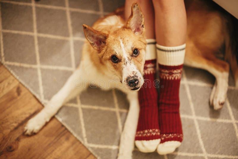 Feestelijke sokken op meisjesbenen en leuke gouden hondzitting op vloer stock foto's