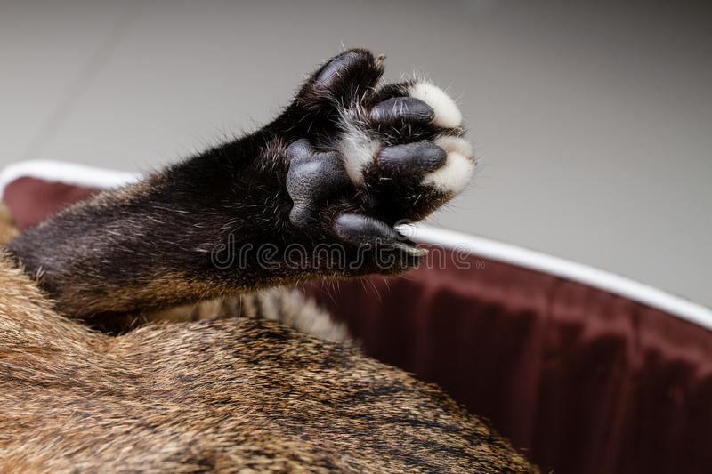 The feet of the cat. Close up Details of under the feet of the cat are spread out stock photography