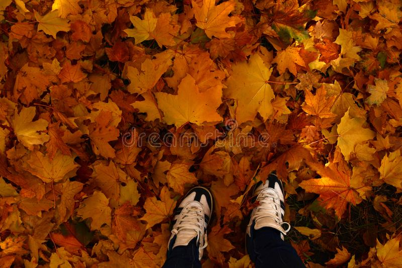 Feet sneakers moving forward on autumn maple leaves background. Autumn season concept stock photo