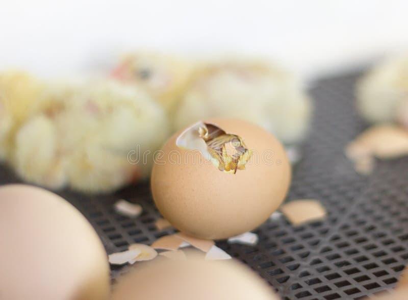 Fega ägg i kuvösen, ett ägg med ett hål var du kan se en liten höna arkivbilder