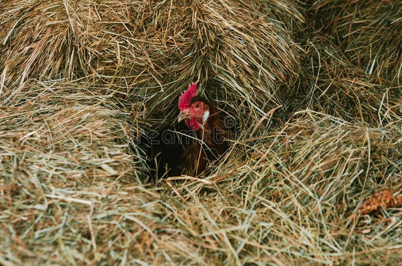 Fega kläcka ägg i en höstack arkivbild