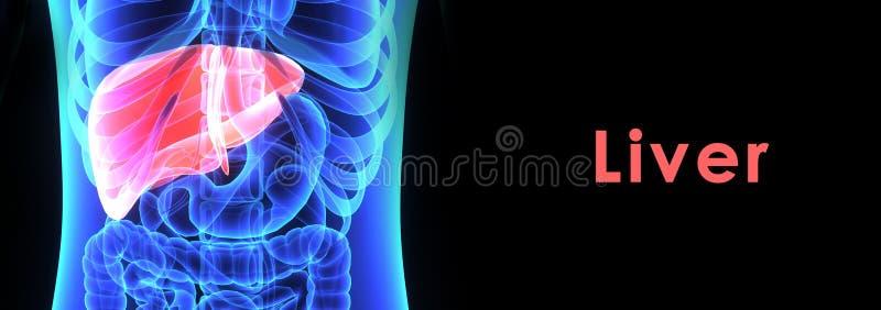 fegato illustrazione di stock