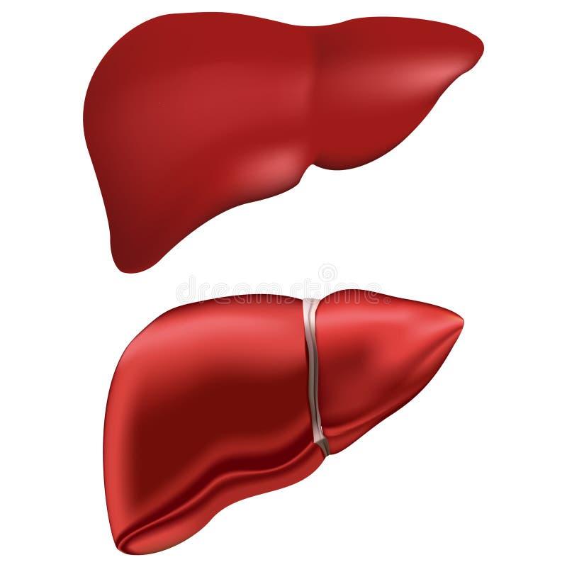 Fegato umano realistico Anatomia della medicina, essere umano dell'organo, salute e biologia Un insieme di due 2 varietà illustrazione vettoriale