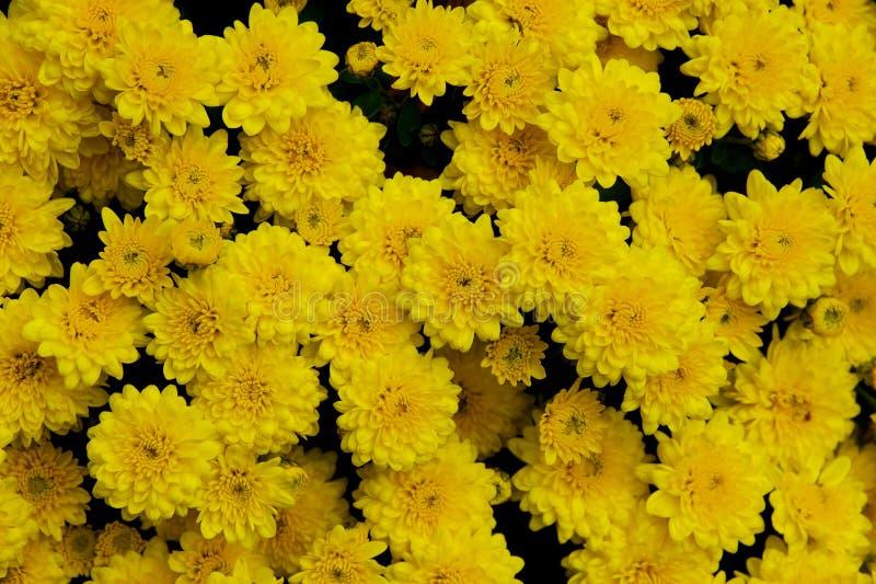 Feiertagschrysanthemen lizenzfreie stockfotografie