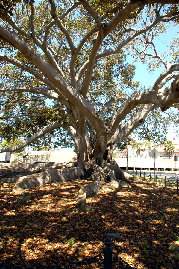 Download Feige-Baum 1 stockbild. Bild von barke, barbara, blätter - 38523