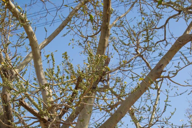 Feigenfrüchte auf dem Baum lizenzfreie stockfotografie