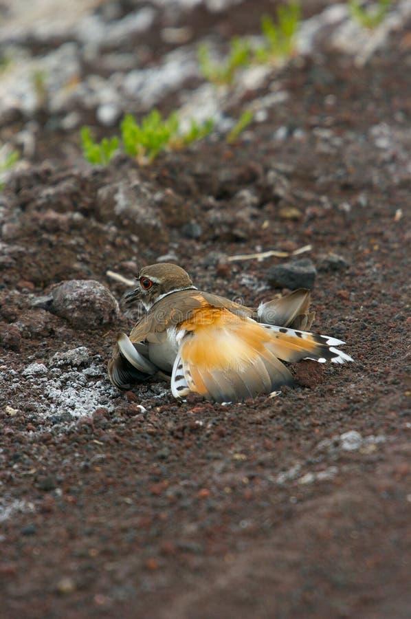 feigning τραυματισμός killdeer στοκ εικόνα με δικαίωμα ελεύθερης χρήσης