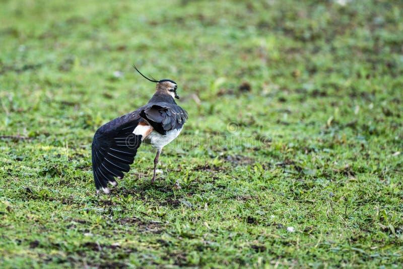 Feigning vanellus Vanellus αργυροπουλιών ένας τραυματισμός φτερών στοκ φωτογραφία