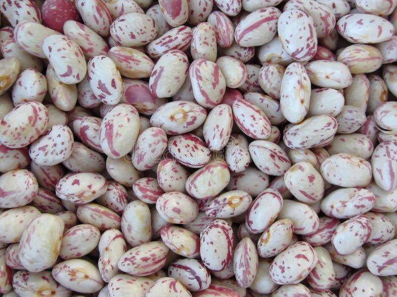 Feijão arredondado com fundo vermelho da textura das salpicaduras Os feijões são cultivados com agricultura biológica em Toscânia fotos de stock royalty free