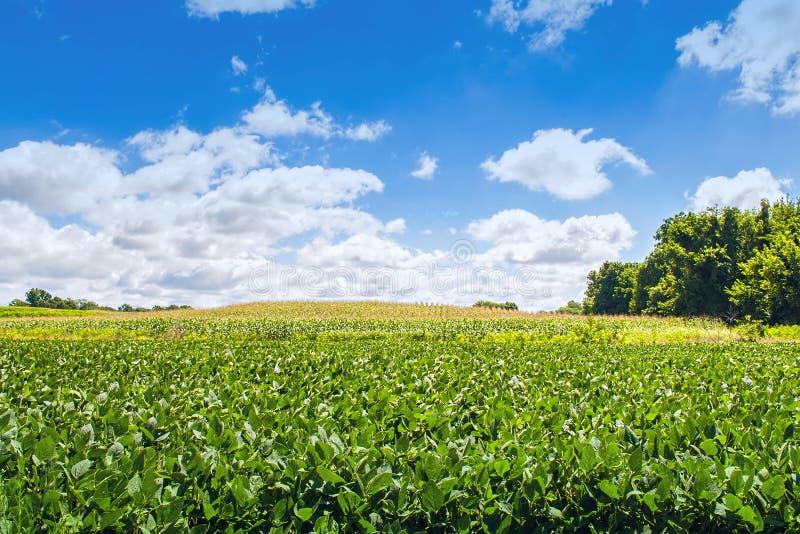 Feijão da soja e campo de milho foto de stock