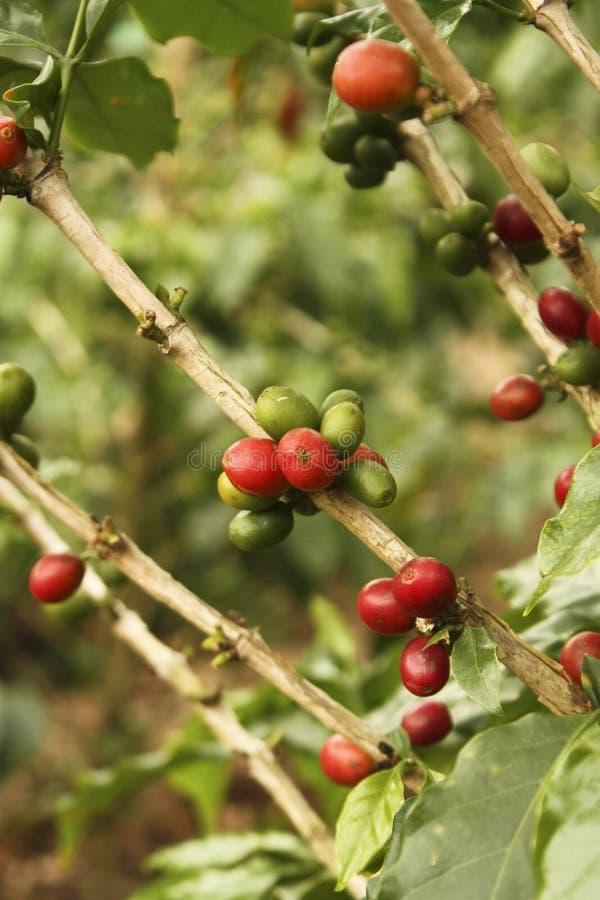 Feijão de café colombiano vermelho. foto de stock royalty free