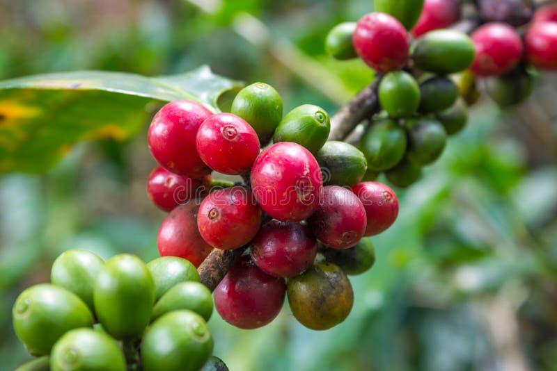 Feijão de café cru fotografia de stock